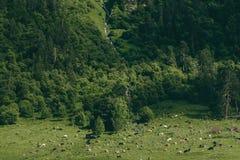Paesaggio verde della collina del pino con l'insenatura del fiume e la mandria di mucche Immagini Stock Libere da Diritti