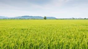 Paesaggio verde della natura con il giacimento del riso del gelsomino della risaia fotografia stock libera da diritti