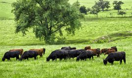 Paesaggio verde idilliaco con il pascolo delle mucche Fotografia Stock Libera da Diritti