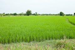 Paesaggio verde naturale della campagna della risaia del campo Fotografia Stock
