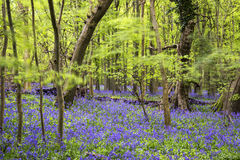 Paesaggio vibrante della foresta della primavera del tappeto di campanula Immagine Stock