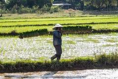 Paesani locali che lavorano in un giacimento del riso nella valle di Champasak, Laos immagine stock