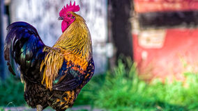 Paese danese Hen Rooster Fotografie Stock