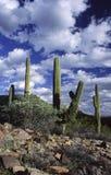 Paese del cactus del Saguaro in Arizona Fotografie Stock Libere da Diritti
