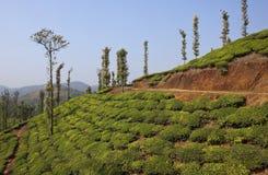 Paese del tè di Wayanad Fotografia Stock