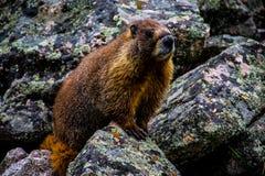Paese di Colorado della marmotta del gancio alto Fotografie Stock Libere da Diritti