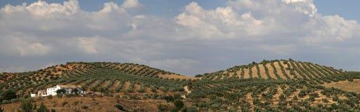Paese verde oliva Fotografie Stock Libere da Diritti
