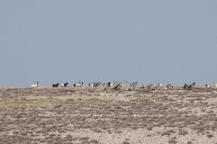 Pag Island with goats. A tribe of goats on the Pag island, Croatia Royalty Free Stock Image