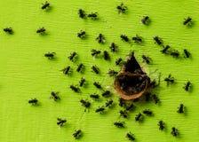 Pagdeni sin aguijón de Trigona de la abeja Foto de archivo libre de regalías