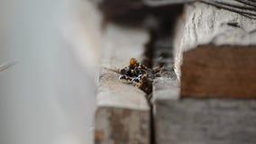 Pagdeni sin aguijón de Trigona de la abeja almacen de metraje de vídeo