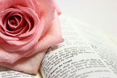 Page of an Open Bible Page. Pink rose on a page of an open bible Royalty Free Stock Photography
