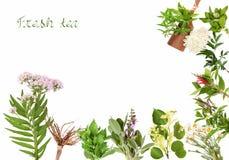 Pagina con le piante di tè, isolate Immagini Stock