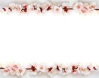 Pagina da sakura Fotografia Stock