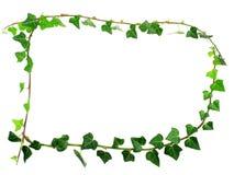 Pagina dall'edera verde Immagine Stock