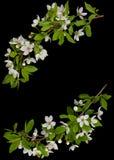 Pagina dalle filiali di fioritura dell'albero di prugna Immagini Stock Libere da Diritti