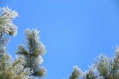 Pagina dei rami glassati del pino Fotografia Stock
