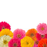Pagina del fiore di Zinnias Immagini Stock Libere da Diritti