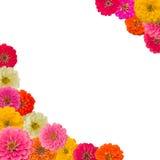 Pagina del fiore di Zinnias Immagine Stock