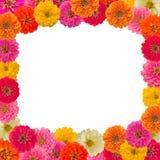 Pagina del fiore di Zinnias Immagine Stock Libera da Diritti