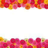 Pagina del fiore di Zinnias Fotografie Stock Libere da Diritti