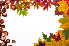 Pagina delle foglie di acero su un fondo bianco Immagini Stock