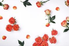 Pagina delle rose rosse su un fondo bianco Fotografie Stock Libere da Diritti