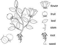 Pagina di coloritura Parti della pianta Morfologia della pianta di fioritura con il sistema, i fiori, la frutta ed i titoli della illustrazione di stock