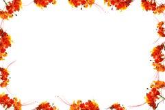 Pagina di flam boyant, orgoglio delle Barbados o fiore di pavone Immagine Stock Libera da Diritti