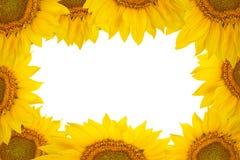Pagina di grandi fiori del girasole isolati su fondo bianco Fotografia Stock