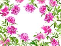 Pagina di molte peonie rosa Fotografia Stock Libera da Diritti