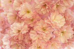Pagina in pieno con il fiore di ciliegia Fotografie Stock
