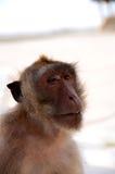 Pagina, scimmia Fotografia Stock