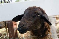 Paginazwarte schapen stock afbeelding