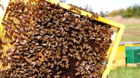 Pagine di un alveare Apicoltore che raccoglie miele Apicoltore Inspecting Bee Hive Il fumatore dell'ape è usato per calmare le ap archivi video