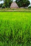 Paglia delle piantine del riso Immagine Stock