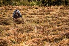 Paglia di raccolto della donna anziana Fotografia Stock
