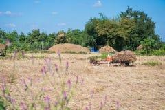Paglia di riso di trasporto dell'agricoltore dal trattore dopo il raccolto Immagini Stock