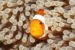 Pagliaccio Anemonefish Immagini Stock Libere da Diritti