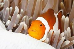 Pagliaccio Anemonefish Immagini Stock