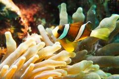 Pagliaccio Anemonefish Fotografia Stock Libera da Diritti