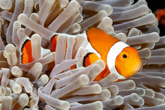 Pagliaccio Anemonefish Fotografia Stock