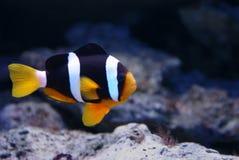 Pagliaccio dei pesci Fotografia Stock