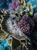Pagliaccio del pesce e subacqueo in anemoni, ardentemente ed in altri coralli sul fondo fotografia stock