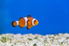 Pagliaccio Fish Fotografia Stock