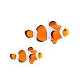 Pagliaccio Fish Immagini Stock Libere da Diritti