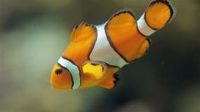 Pagliaccio Fish video d archivio