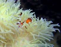 Pagliaccio Fish fotografia stock libera da diritti
