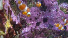 Pagliaccio Fish Swimming Underwater stock footage