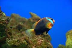 Pagliaccio Fishe Immagine Stock