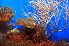 Pagliaccio-pesci Fotografia Stock